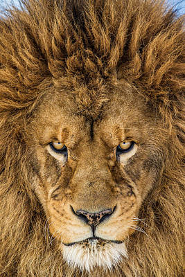 Lion Face Photograph - Serious Lion by Mike Centioli