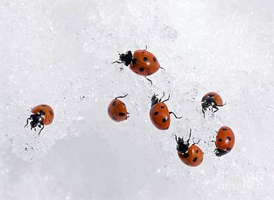 Seven-spot Ladybirds In Snow Print by Bob Gibbons