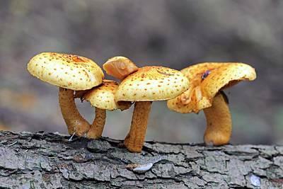 Fruiting Body Photograph - Shaggy Pholiota (pholiota Aurivella) by Bildagentur-online/mcphoto-schulz