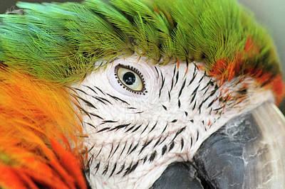 Shamrock Photograph - Shamrock Macaw, First Generation Hybrid by Matt Freedman