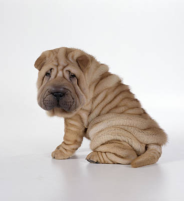 Droopy Photograph - Shar Pei Puppy by John Daniels