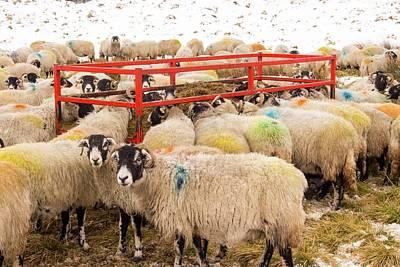 Feeding Photograph - Sheep Feeding On Hay by Ashley Cooper