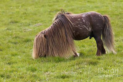 Long Mane Photograph - Shetland Pony by Thomas Hanahoe