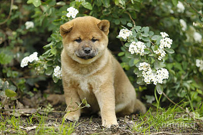 Photograph - Shiba Inu Puppy Dog by Jean-Michel Labat