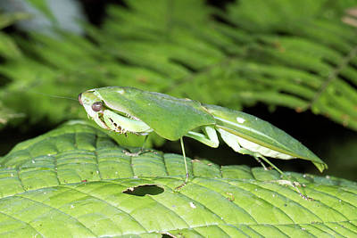 Mantis Photograph - Shield Mantis by Dr Morley Read