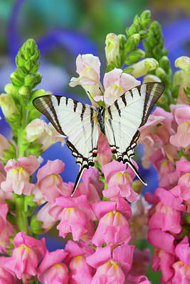 Snapdragons Photograph - Short-lined Kite Swallowtail Butterfly by Darrell Gulin