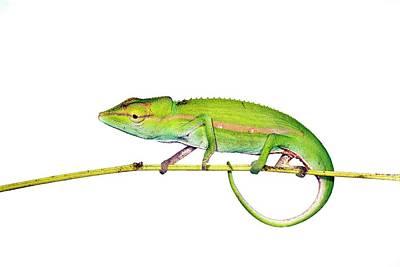 Short-nosed Chameleon Art Print