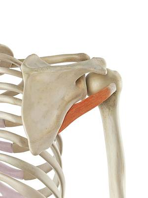 Shoulder Muscle Art Print
