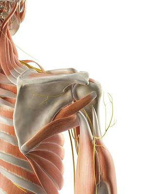 Shoulder Muscles And Nerves Art Print by Sciepro