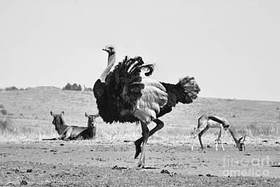 Ostrich Photograph - Show-off by Douglas Barnard