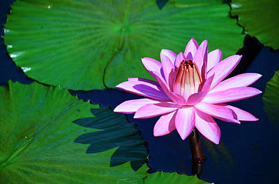 Photograph - Pink Waterlily by Crystal Wightman
