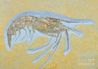 Photograph - Shrimp Fossil by Millard H Sharp