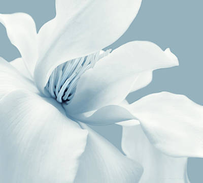 Photograph - Shy White Magnolia Blossom Blue by Jennie Marie Schell
