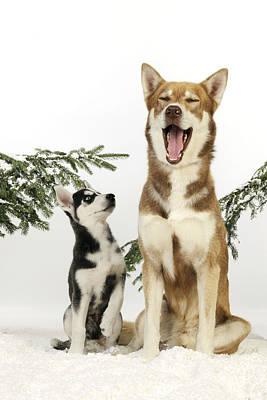 Siberian Husky And Puppy Art Print by John Daniels