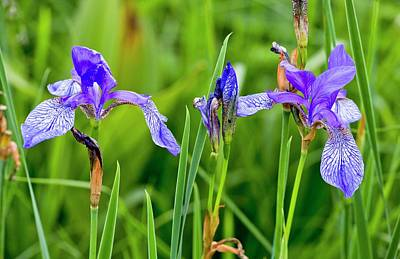 Romania Photograph - Siberian Iris (iris Sibirica) In Flower by Bob Gibbons