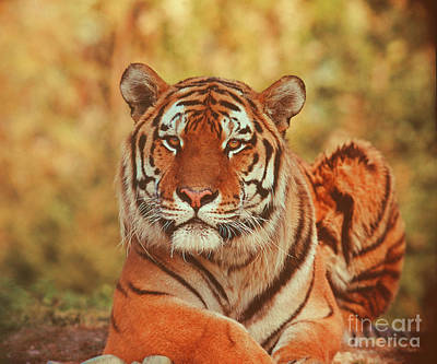 Photograph - Siberian Tiger by Hermann Eisenbeiss