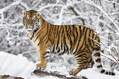 Photograph - Siberian Tiger Juvenile by Konrad Wothe