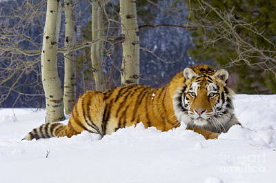 Photograph - Siberian Tiger by Thomas and Pat Leeson