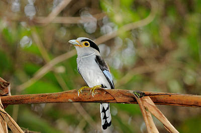Broadbill Photograph - Silver-breasted Broadbill by Fletcher & Baylis