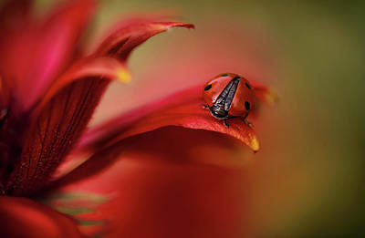 Ladybug Wall Art - Photograph - Simply Red by Mandy Disher