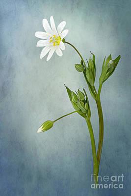 Simply Stitchwort Art Print by Jacky Parker