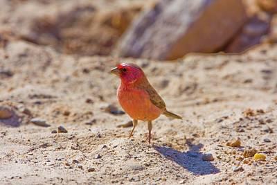 Sinai Photograph - Sinai Rosefinch (carpodacus Synoicus) by Photostock-israel