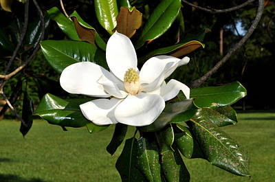 Photograph - Single Magnolia by Terry Sita