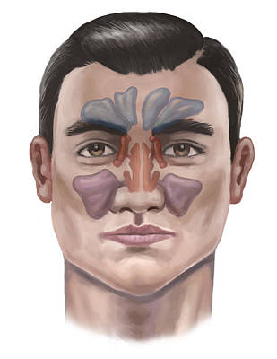 Photograph - Sinuses, Illustration by Spencer Sutton