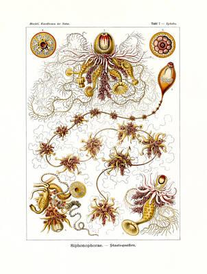 Art In Nature Drawing - Siphonophorae by Splendid Art Prints