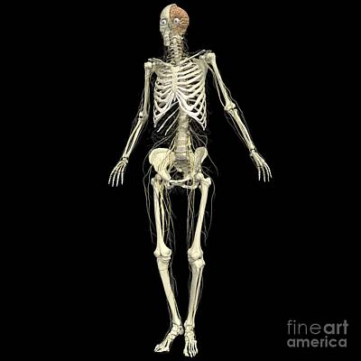 Skeleton With Nervous System Art Print by Medical Images, Universal Images Group
