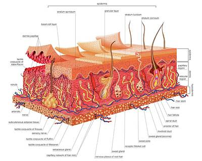 Skin Structure Art Print