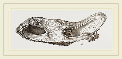 Fossil Drawing - Skull Of Fossil Rhinoceros by Litz Collection