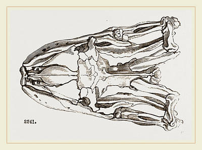 Burmese Python Drawing - Skull Of Python by Litz Collection