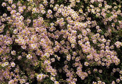 Sky Blue Aster Flowers Art Print by Anthony Cooper/science Photo Library