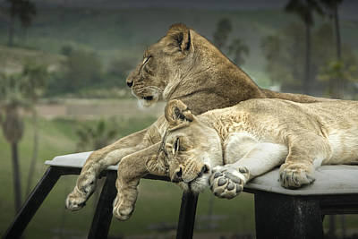 Animals Photos - Sleeping Lions by Randall Nyhof