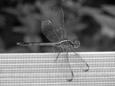 Photograph - Slightly Damaged Dragonfly by Ron Davidson