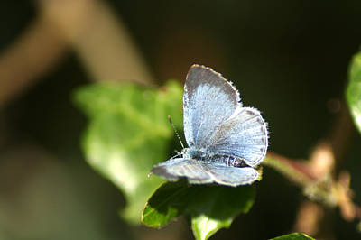 Photograph - Small Blue Butterfly by Chris Day