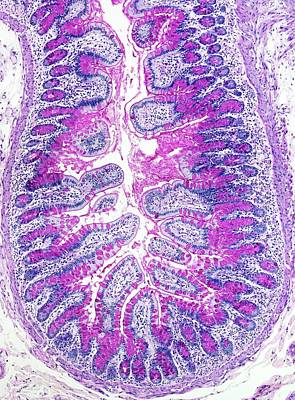 Gut Photograph - Small Bowel by Microscape