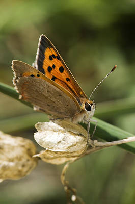 Winter Animals Rights Managed Images - Small Copper Butterfly Royalty-Free Image by Mick House