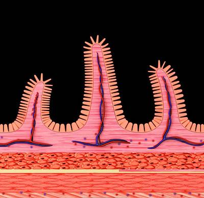Small Intestine Wall Print by Pixologicstudio
