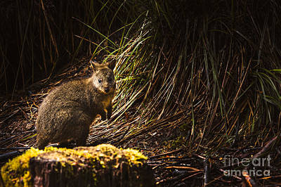 Hop Photograph - Small Marsupial Pademelon In Thick Tasmania Forest by Jorgo Photography - Wall Art Gallery
