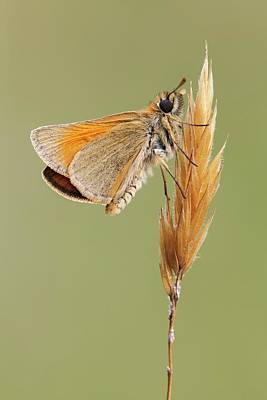 Somerset Photograph - Small Skipper Butterfly by Heath Mcdonald