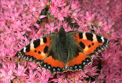 Small Tortoiseshell Butterfly Art Print by Nigel Downer