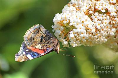 Photograph - Small Tortoishell Butterfly by David Birchall