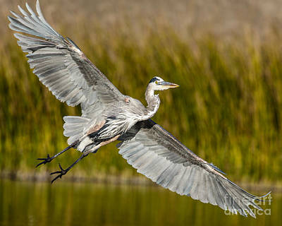 Great Heron Photograph - Smooth Landing by Carl Jackson