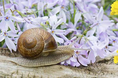 Photograph - Snail by Jaroslaw Grudzinski