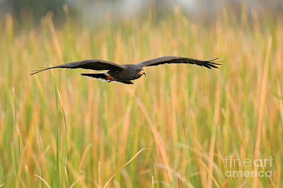 Us Wildllife Photograph - Snail Kite by Scott Linstead