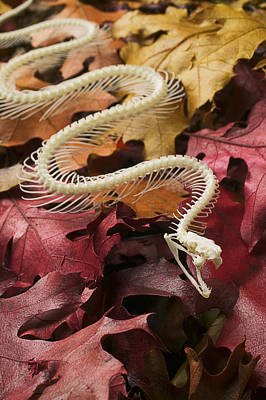 Reptiles Photograph - Snake Skeleton  by Garry Gay