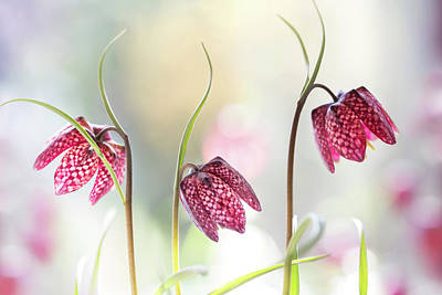 Flora Wall Art - Photograph - Snakes Head Fritillary by Mandy Disher