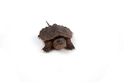 Photograph - Snapping Turtle by Scott Sanders